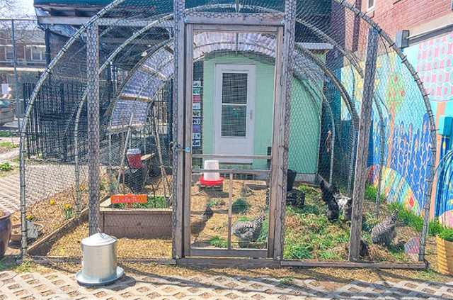 Ashley Mason | Cooking with Weeds Edible Schoolyard Chicken Coop